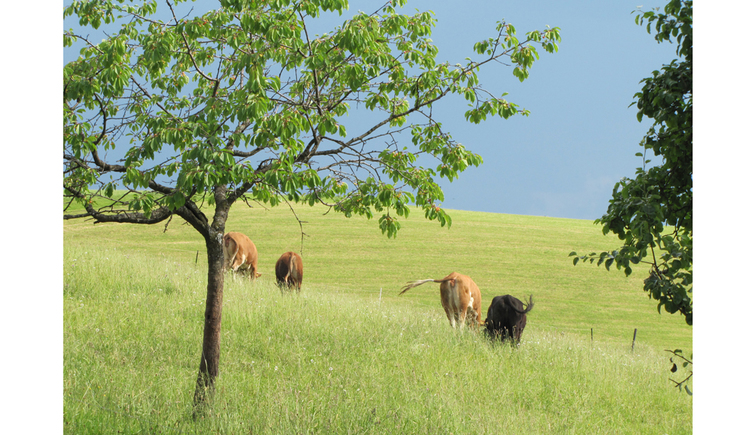 cows on a meadow, tree