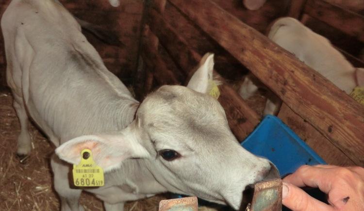 Kühe, Tiere, kinder, bauernhof, bio