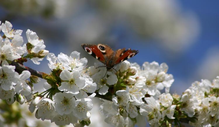Kirschbl%c3%bcte mit Tagpfauenauge (© Naturpark Obst-Hügel-Land)