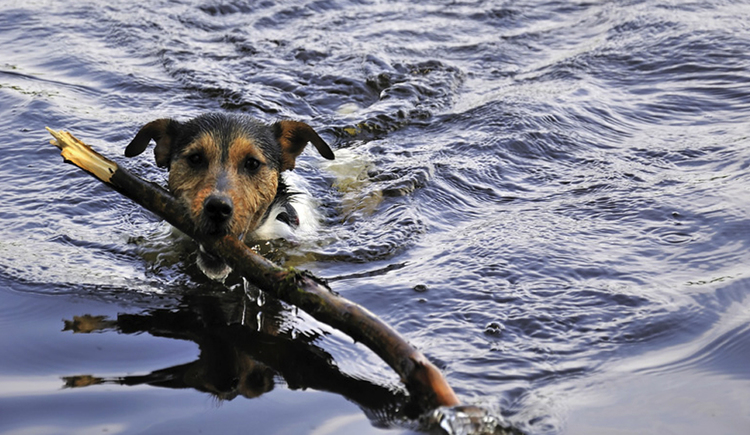 Dog is swimming with a stick in the water