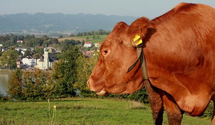 Blick auf Aschach mit Kuh im Vordergrund