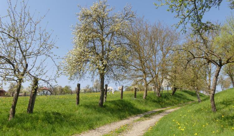 Baumblüte Naturpark (© Naturpark Obst-Hügel-Land)
