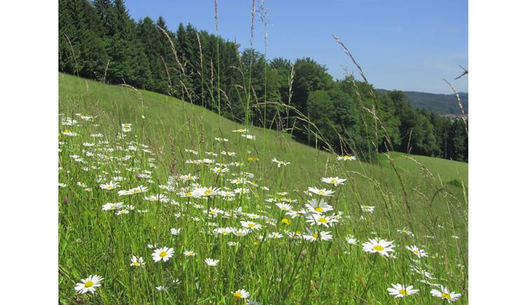 Blumenwiese, im Hintergrund ein Wald