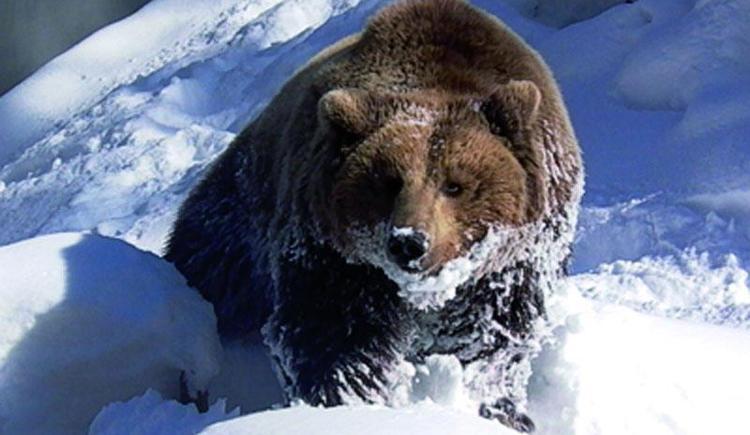 Der Braunbär im Winter Cumberland Wildpark Grünau (© Wildpark Cumberland)