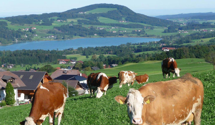 cows on the meadow, Irsee in the background. (© Familienferienhof Stabauer)